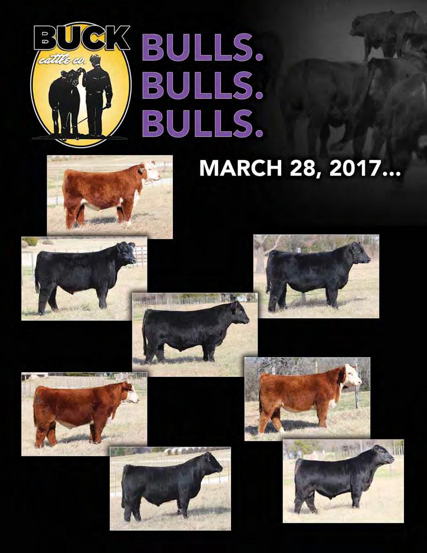 13D Horned Hereford by Kahuna BUCK CATTLE CO ONLINE SPRING BULL SALE Hosted by SC Online - www.sconlinesales.com Private Treaty Bulls for sale at ALL TIMES!! Over 100 bulls sell this Spring!