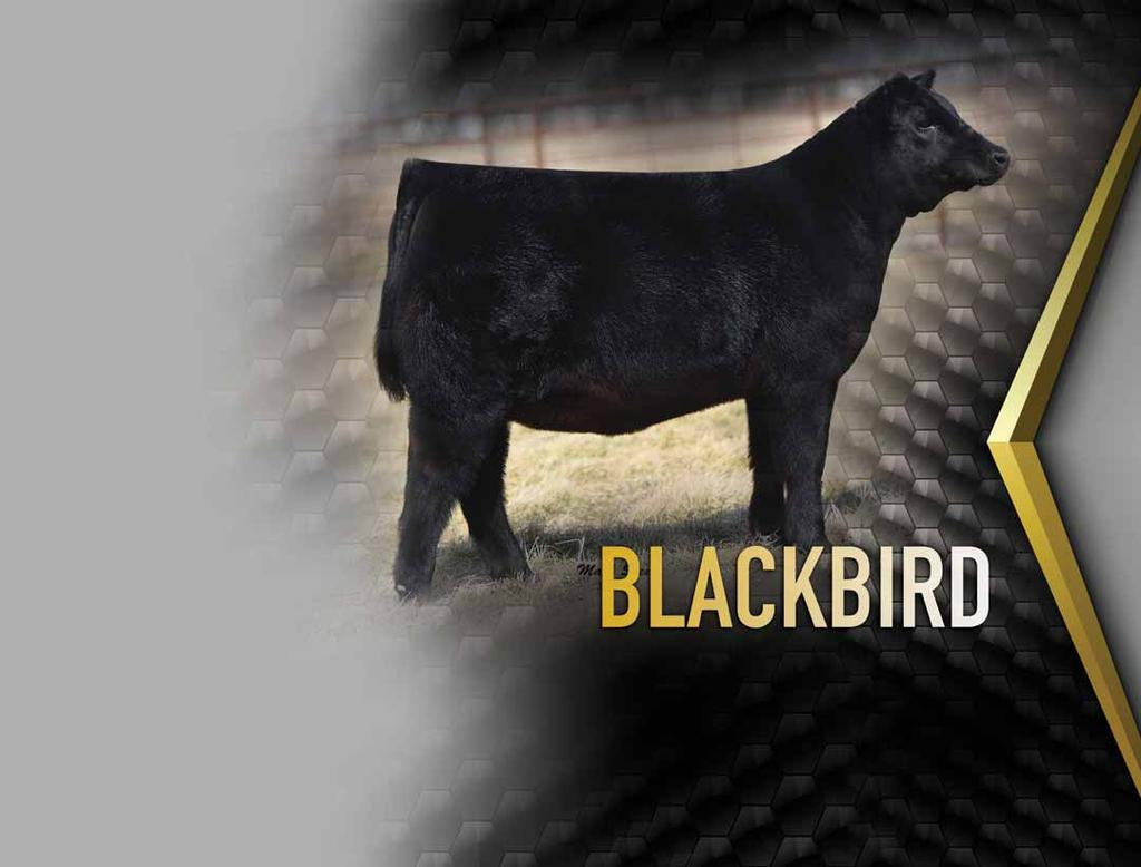 PVF Blackbird 5013 The 2016 Houston Stock Show Reserve Grand Champion Angus Femle is maternal sister to Lot 13.
