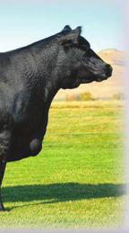 The Angus Cow