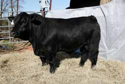 Use him for calving ease and to sire fleshing ability. Tested Homo Black.