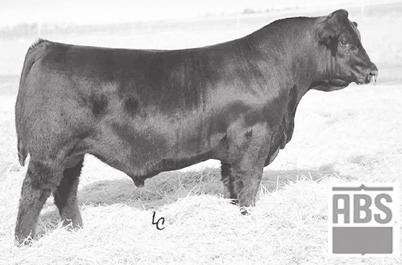 Proven Young SIMANGUS Cows 114 EGL Starbrite 115C BD: 2/18/15 AGA 1331883 Tattoo: 115C Double Black 1/4 SM 9/16 AN 3/16 GV Double Black MCC Daybreak MCC Daylite 0005 A G Miss In Focus 7302 CCR