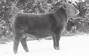 His first daughters are calving now and they look to be fantastic maternal prospects.