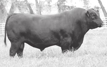 These Visionary sons by the dominant Madame Pride cow family have redefined what we thought was possible in terms of reducing inputs while maximizing output potential.