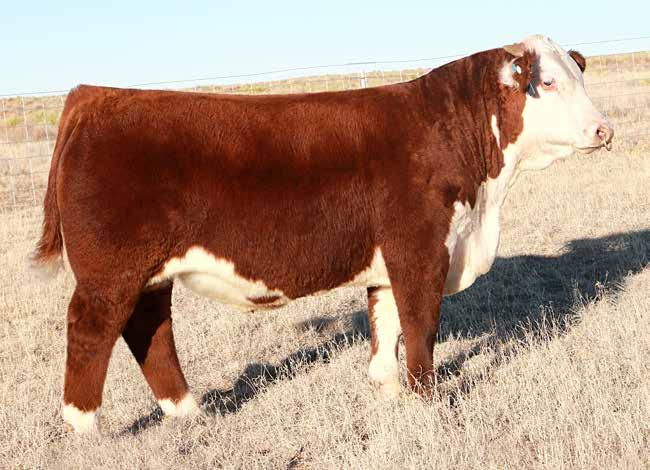 Lot 2 - PCC 457Y Hutton 6049 ET Lot 2 was a member of the Reserve Division Champion Spring Pen of 3 at the NWSS. He offers as much power and performance as you ll find this spring.