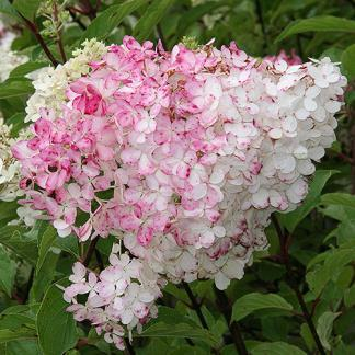 / Flower: White White flowers in the summer hold their color into autumn when the blooms change to a rich, deep pink.