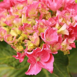 / Wd. 2-3 ft. / Flower: Pink to Blue Large lace-cap blooms are baby blue or pink and are as big as the palm of your hand!