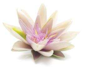 Frangipani flower extract helps