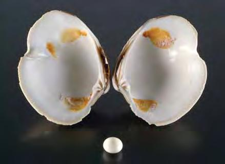 Large Baroque Multicolored Conch Pearl The New York laboratory recently received a large (125.26 ct) baroque non-nacreous pearl for identification (figure 16).