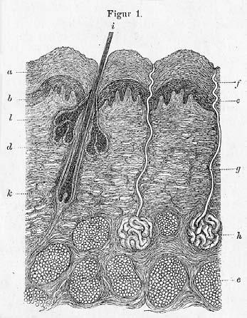 Chapter 3 Figure 3.8 Schematic illustration of normal skin. In Neumann, I. (1869). Lehrbuch der Hautkrankheiten. (22 cm). Figure 3.9 Microscopic depiction of the skin in a German encyclopaedia 1898.