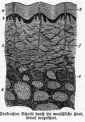 Gurlt s figure of the human sweat glands had already been directly copied by Rudolph Wagner in 1839 in his physiological plates (figure 3.7).