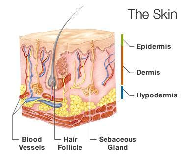 Epidermis, the outermost layer of skin, provides a waterproof barrier and creates our skin tone Dermis, beneath the epidermis,