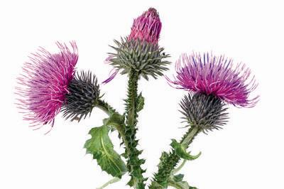Burdock oil Burdock is used for massaging the dry dandruff and damaged hair.