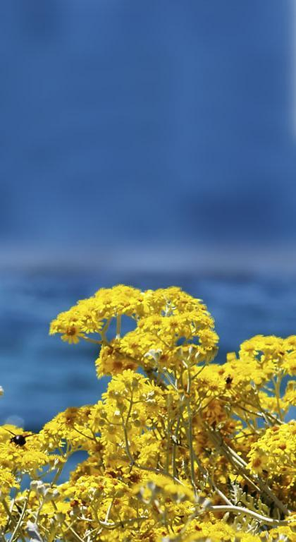 Immortelle Immortelle is a rare plant that grows in the hardly accessible land of the Adriatic coast, it has a characteristic yellow color,