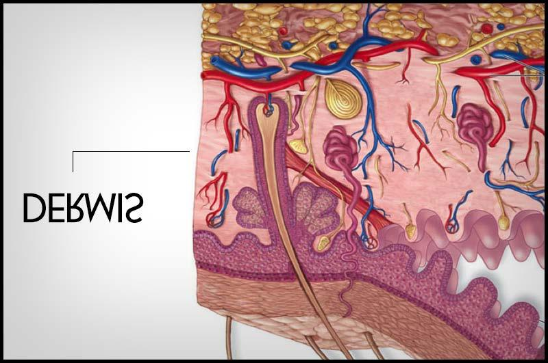 III - ANATOMY OF THE SKIN There are three distinct divisions of the skin: Epidermis, Dermis, and Subcutaneous.