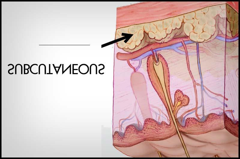Also referred to as the true skin or the live layer because dense connective tissue, blood vessels, nerves, lymph vessels, smooth muscles,