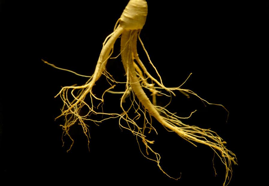 ginseng plant is known for its ability to strengthen the immune system and support health and vitality.